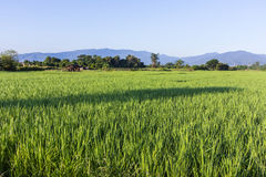 Thai rice field with cottage Stock Photo