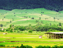 Thai rice field Royalty Free Stock Photo