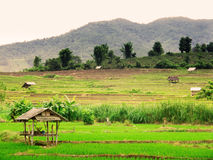 Thai rice field Stock Photography