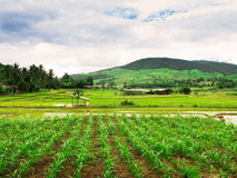 Thai rice field Royalty Free Stock Photography