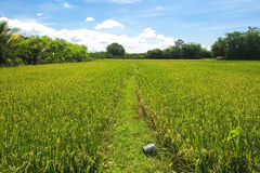 Thai rice field Stock Photo
