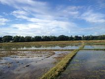 Thai Rice Field Royalty Free Stock Photos