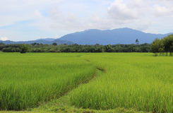 Thai rice. Fields in the country Royalty Free Stock Image