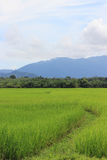 Thai rice. Fields in the country Stock Photography