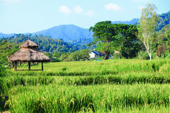 Thai rice filed Royalty Free Stock Images