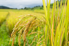Thai Rice. Thailand rice farm in chiangmai noth of thailand Stock Images