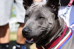 Thai Ridgeback Royalty Free Stock Photography