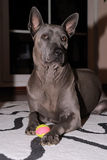 Thai Ridgeback dog. On the carpet royalty free stock image