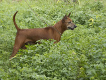 Thai Ridgeback Dog Royalty Free Stock Photography