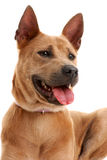 Thai Ridgeback Dog Stock Image