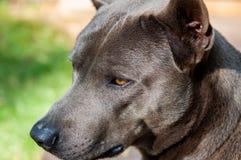 Thai Ridgeback dog Stock Images