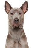 Thai Ridgeback Dog Royalty Free Stock Photography