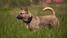 Thai ridgeback dog in the grass