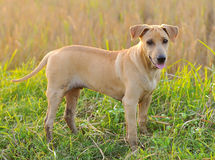 Thai Ridgeback Dog on green Stock Photo