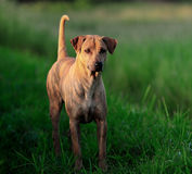 Thai Ridgeback Dog Stock Photo