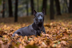 Thai Ridgeback Dog is Lying on the Ground. Royalty Free Stock Photos