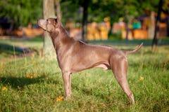 Thai ridgeback dog outdoors Stock Images