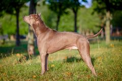 Thai ridgeback dog outdoors Stock Image