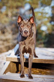 Thai ridgeback dog outdoors in winter Royalty Free Stock Images