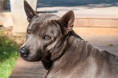 Thai Ridgeback dog Royalty Free Stock Images