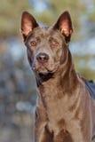 Thai ridgeback dog portrait Royalty Free Stock Images