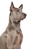 Thai Ridgeback Dog Stock Images