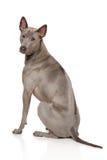 Thai Ridgeback Dog. Posing on a white background royalty free stock photo