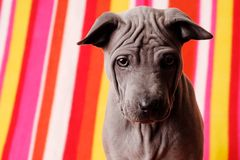 Thai Ridgeback dog - Roxy Royalty Free Stock Photos