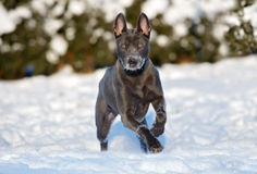 Thai ridgeback dog running outdoors in winter Royalty Free Stock Photography