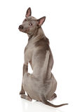 Thai Ridgeback Dog Royalty Free Stock Photo