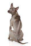 Thai Ridgeback Dog. Sits in front of white background royalty free stock photo