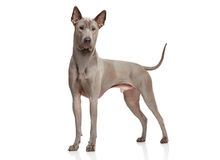 Thai Ridgeback Dog. Stand in front of white background royalty free stock photography
