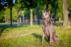 Thai Ridgeback dog is standing on the grass Royalty Free Stock Photography