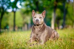 Thai Ridgeback dog is standing on the grass Royalty Free Stock Images