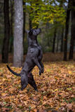 Thai Ridgeback Dog is Standing on Two Legs. Autumn Leaves Backgr Royalty Free Stock Image