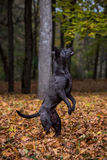 Thai Ridgeback Dog is Standing on Two Legs. Autumn Leaves Backgr Royalty Free Stock Photography