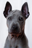 Thai Ridgeback Royalty Free Stock Images
