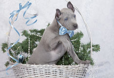 Thai ridgeback puppy in a basket. Two months old Stock Image