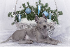 Thai ridgeback puppy with Christmas basket Royalty Free Stock Photography