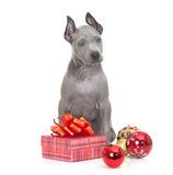 Thai ridgeback puppy with Christmas decoration Stock Image