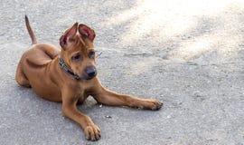 Thai ridgeback. Puppy dog stock photo