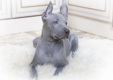 Thai ridgeback puppy Stock Images