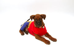 Thai Ridgeback puppy in red cloth Stock Photos