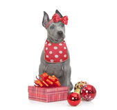 Thai ridgeback puppy in red Royalty Free Stock Photography