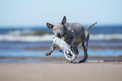 Thai ridgeback puppy running on a beach Royalty Free Stock Photos