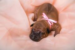 Thai ridgeback puppy sleep. On cream organza with pink bow Stock Image