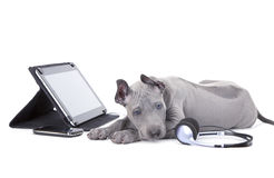 Thai ridgeback puppy with tablet computer and headphones. Thai ridgeback puppy lying beside digital tablet computer stock images