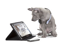 Thai ridgeback puppy with tablet computer Royalty Free Stock Photos