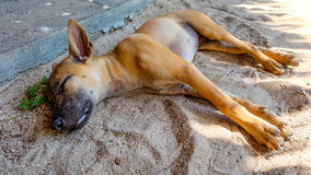 Thai Ridgeback Royalty Free Stock Photo