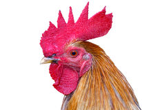 Thai rooster Stock Photos